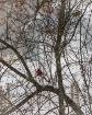 Cardinal in a sno...