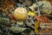yellow fly agaric...
