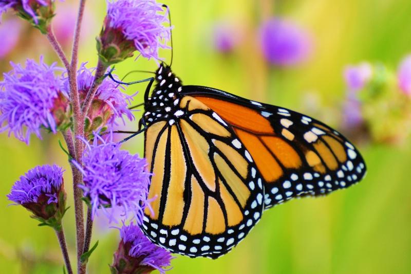 Monarch 2013 12