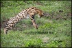 Serval_2