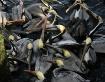 Pelican Mosh Pit