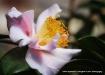 camellia sweet