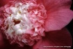 ruffles pink
