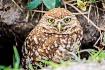 Burrowing Owl sur...
