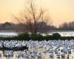 Geese in the Wetl...