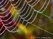 Web of Dew
