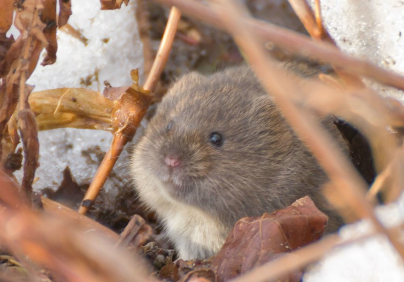 Meadow vole - ID: 14395313 © Anne E. Ely