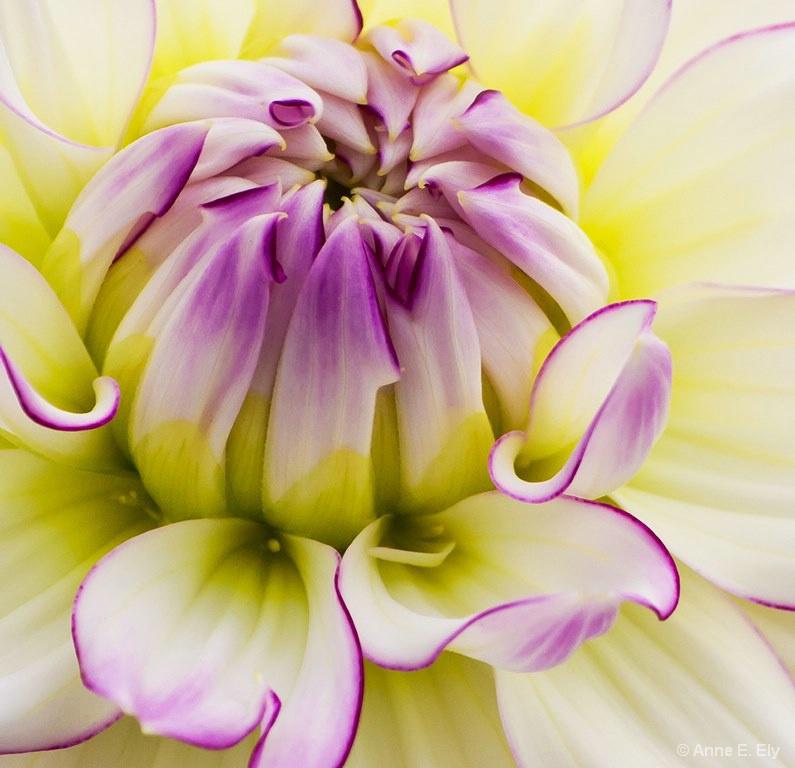 Dahlia  - ID: 14395347 © Anne E. Ely