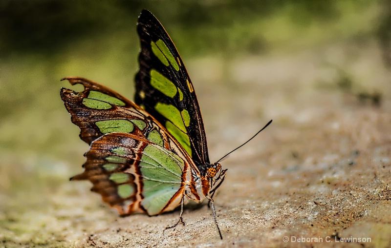 Butterfly with Attitude - ID: 14397975 © Deborah C. Lewinson