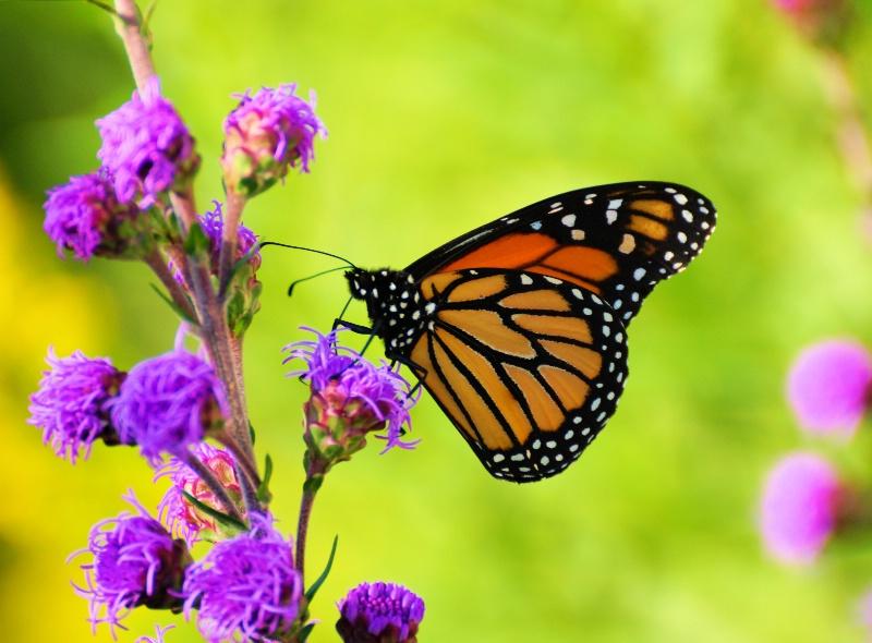 Monarch 2013 35