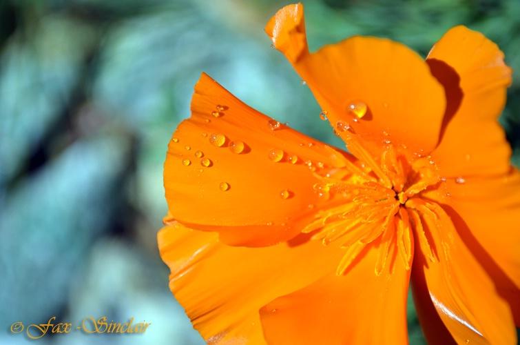 Poppy Flip  - ID: 14405003 © Fax Sinclair