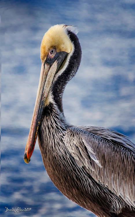 Pelican Closeup 2 - ID: 14408072 © Brenda W. LaFleur