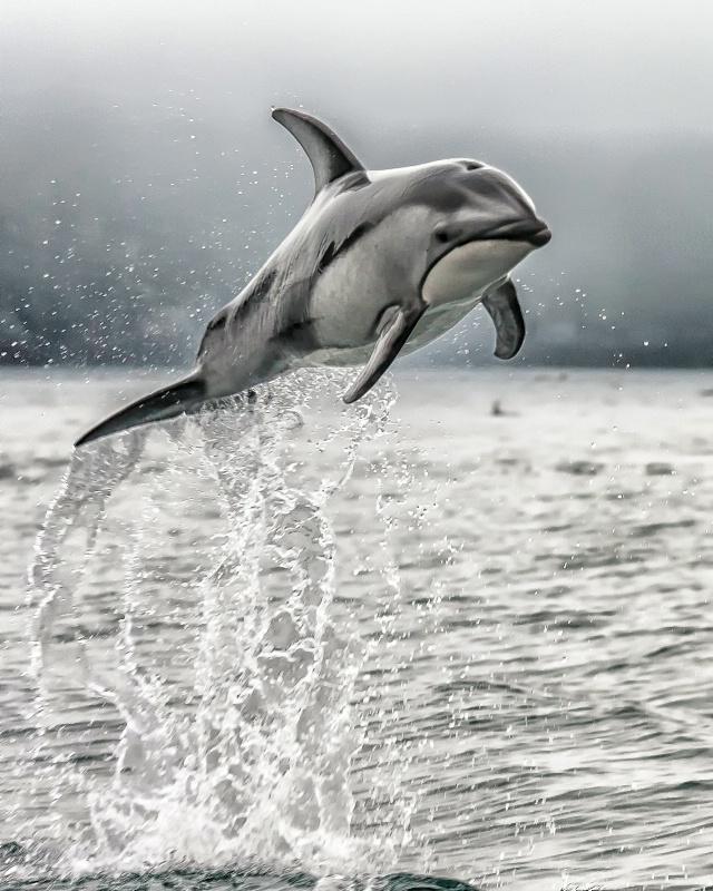 Wild Dolphin - ID: 14413585 © Karen Celella