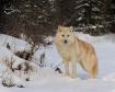 Arctic Wolf Portr...
