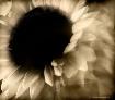 Experimental Sunf...