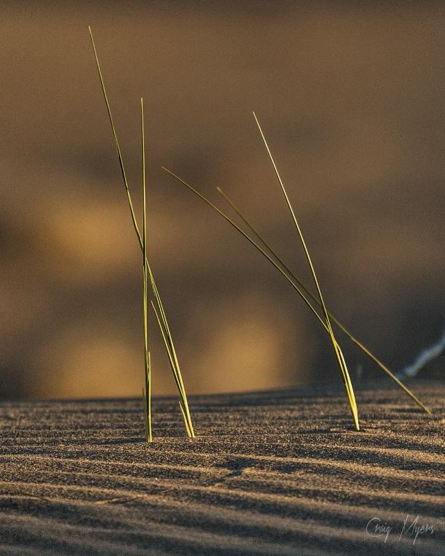 Dune Grasses - ID: 14442453 © Craig W. Myers
