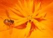 Poppy Pollinator