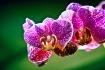 Royal Purple Orch...