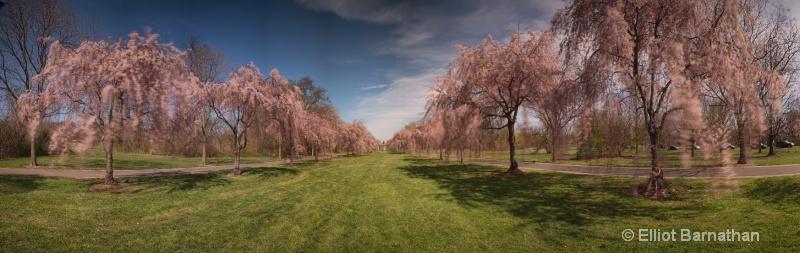 Weeping Cherries - ID: 14449835 © Elliot S. Barnathan