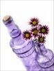 Purple Daisys