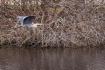 Great blue heron ...