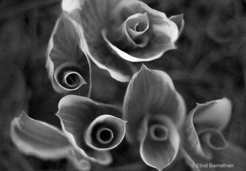 Hosta - ID: 14461777 © Elliot S. Barnathan