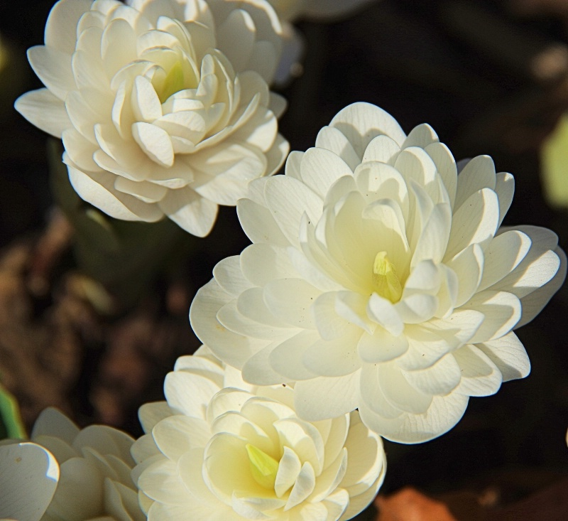 Blood Root 2014 3
