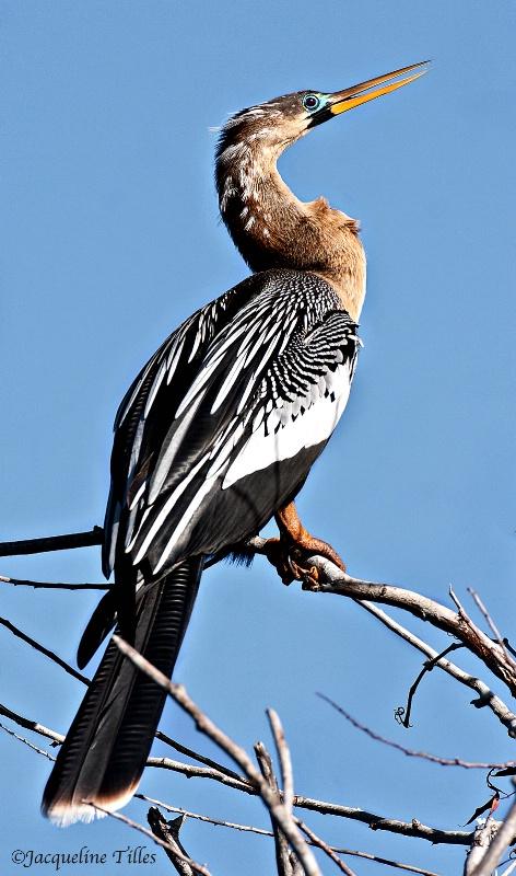 Female Anhinga - ID: 14476356 © Jacqueline A. Tilles