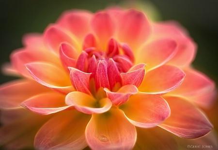 Rose Bicolor Dahlia