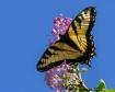First Swallowtail...
