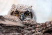 Owlet in the morn...
