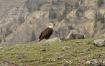 Bald Eagle at Yel...