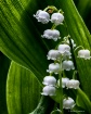 Lilly Of The Vall...