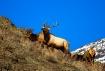 Watchful Bull