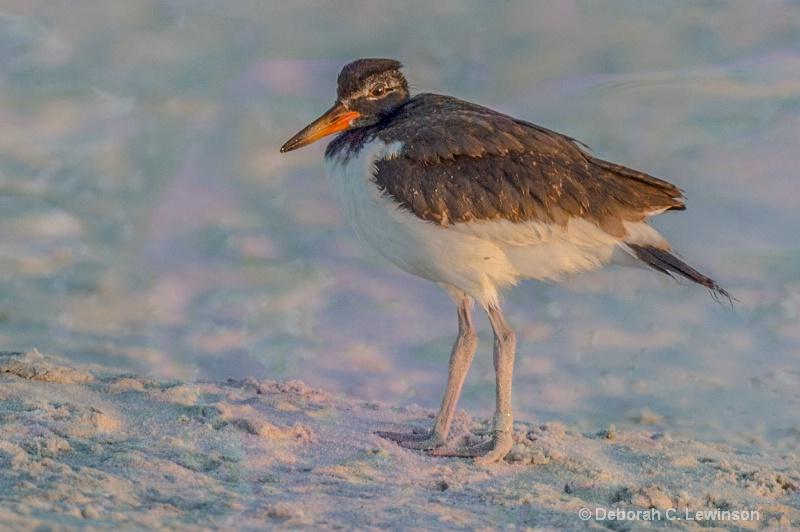 Oystercatcher at Dawn - ID: 14510820 © Deborah C. Lewinson