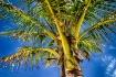Palm Tree, Bermud...