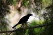 Blackbird sitting