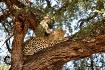 Leopard in Botswa...