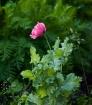 1st Pink Poppy