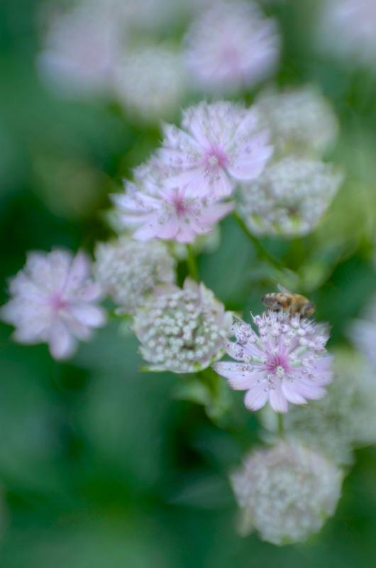 Bee, Queen Mary's Garden - ID: 14529952 © Nora Odendahl