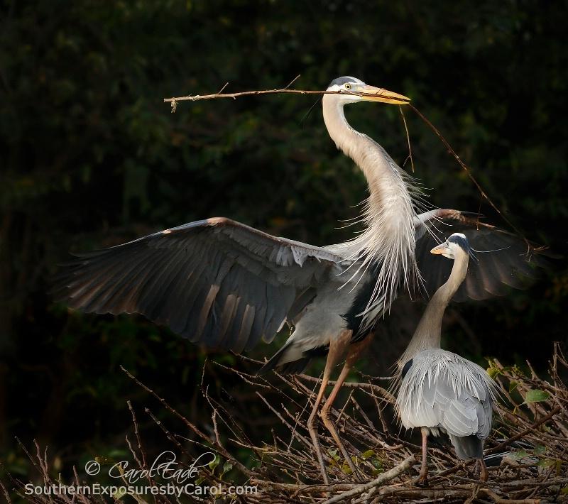 Building a Nest - ID: 14538262 © Carol Eade