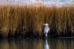 Under the Reeds