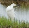 Snowy Egret preen...