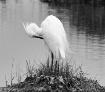 Egret in Black an...