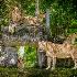 2Pride of the Jungle - ID: 14566982 © Richard M. Waas