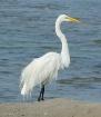 Great Egret posin...