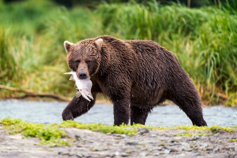 the fisher-bear
