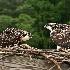 © Loan Tran PhotoID # 14568754: Osprey Chicks