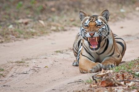 Angry tiger !