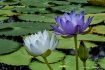 Water Lily Duet